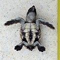 Loggerhead Sea Turtle - Caretta caretta (juvenile) in Sanibel (Florida) 03.jpg