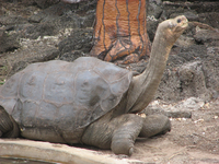 A tortoise of the abingdoni subspecies. It has a distinctively saddle shaped shell that flares above the neck and limbs.