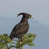 Long-crested eagle (Lophaetus occipitalis) Uganda.jpg