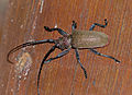 Longhorn Beetle (Ceroplesis ferrugator marginalis) (12884299055).jpg