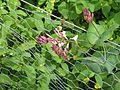 Lonicera hispidula - Flickr - peganum (4).jpg