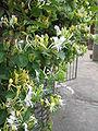 Lonicera japonica 01.JPG