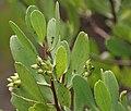 Lumnitzera racemosa, Black Mangrove W IMG 6943.jpg
