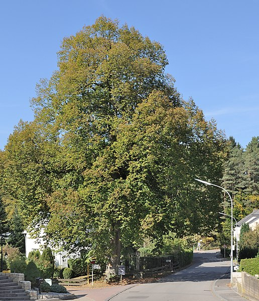 Luxembourg, Bridel: Large-leaved Linden (Tilia platyphyllos) listed with the Remarkable trees in Luxembourg.
