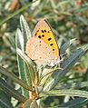 Lycaeana phlaeas-04 (xndr).JPG