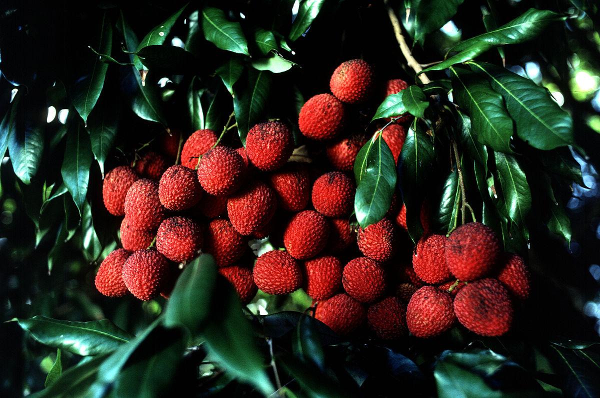 Piante Da Frutto Sempreverdi litchi chinensis - wikipedia