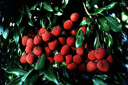 Lychee branch with ripe fruit