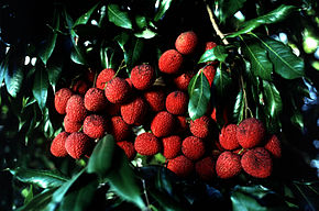 fulles i fruits de Litchi chinensis