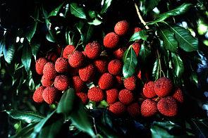Litschibaum (Litchi chinensis), reife Früchte am Baum