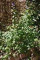 Lycianthes rantonnetii-Arbre à gentiane-201607041.jpg