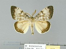 Lymantria dispar asiatica male.jpg