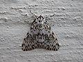 Lymantria monacha Lago 01.jpg