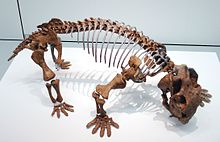 A fossil skeleton on display at a museum. It is brown in color and the eye socket is facing right.