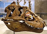 Lythronax skull 1 salt lake city.jpg