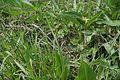 MD.ST.Lozova - Eriophorum vaginatum in the cottonseed field in Codru scientific reserve - may 2017 - 25.jpg