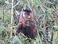 Macaco-prego (Cebus appella) - Horto Florestal de Manduri.jpg