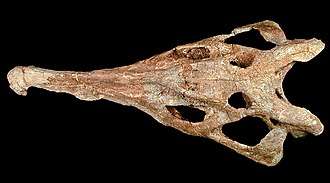 Phytosaur - Skull of Machaeroprosopus mccauleyi