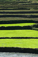 Madagascar - Rice paddy.jpg