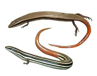 <i>Madascincus</i> Genus of lizards