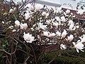 Magnolia stellata - kew 2.jpg