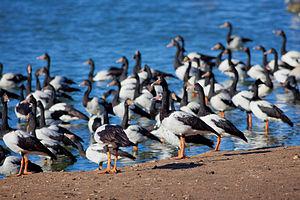 Magpie goose - Magpie goose colony at Serendip Sanctuary