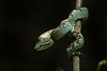 Malabar Pit Viper 2.jpg