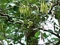 Malabar rosewood (588615299).jpg