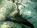 Maldives Peocock Grouper (Cephalopholis Argus) 131.jpg