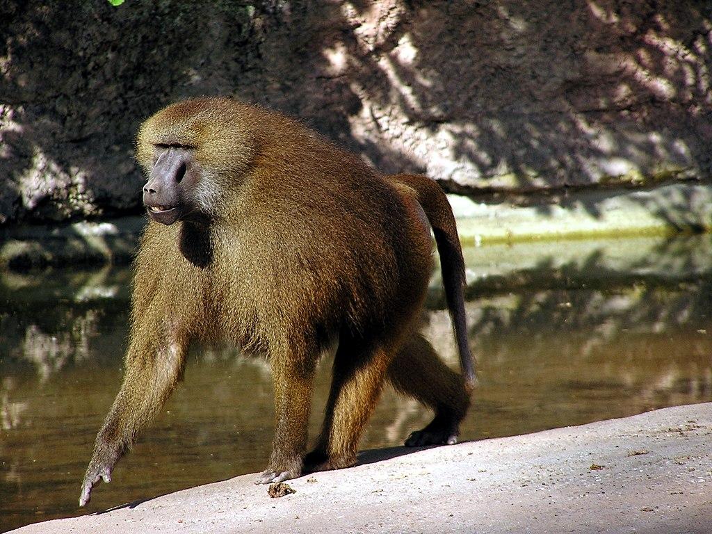 Male Guinea Baboon in Nuremberg Zoo.jpg