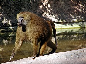 Description de l'image  Male Guinea Baboon in Nuremberg Zoo.jpg.