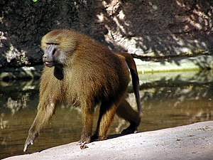 Guinea baboon - Image: Male Guinea Baboon in Nuremberg Zoo