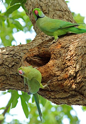 Parakeet - Male and female parakeet at Vedanthangal, India.