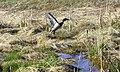 Mallard Duck Takeoff 1 - panoramio.jpg