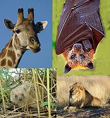 Collage of colour photographs.  Clockwise from the upper left: Giraffe (Giraffa camelopardalis), Golden-capped Fruit Bat (Acerodon jubatus), Lion (Panthera leo) and West European Hedgehog (Erinaceus europaeus}