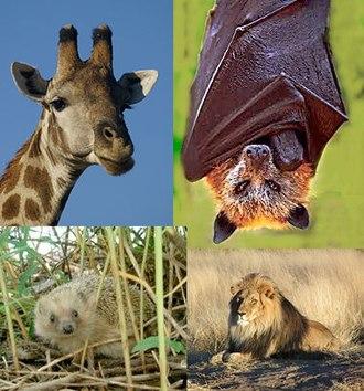 Laurasiatheria - Clockwise from the upper left: giraffe, golden crown fruit bat, lion, hedgehog