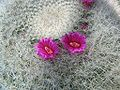 Mammilaria hahniana - old lady cactus - desc-flowers - from-DC1.jpg