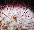 Mammillaria bombycina3 ies.jpg