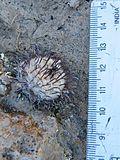 Mammillaria perezdelarosae (5725989115).jpg