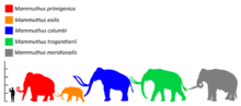 Colored silhouette of a mammoth, relative in size to a human and past and present elephants
