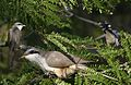 Mangrove Cuckoo From The Crossley ID Guide Eastern Birds.jpg