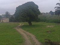 Mangueira na cidade de Amélia Rodrigues-BA.jpg