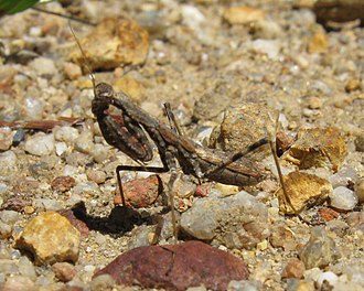 Mantis - Ligariella, a ground mantid that runs down its prey