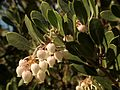 Manzanita - Flickr - treegrow.jpg