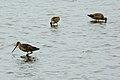 Marbled Godwits (Limosa fedoa) (129832122).jpg