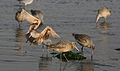 Marbled godwit, Limosa fedoa, Moss Landing (Elkhorn Slough and beach), California, USA. (30852730871).jpg