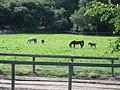 Mares and Foals at Varian Arabians (555302718).jpg
