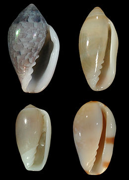 Marginellidae wiki