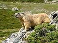 Marmotte en Maurienne.JPG