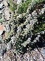 Marrubium supinum Plant Habitus SierraNevada.jpg