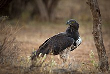 Martial Eagle at Samburu.jpg